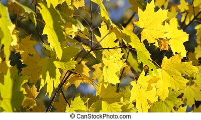 maple leaves - Yellow maple leaves