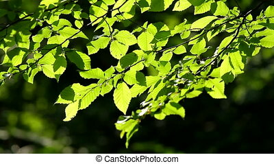 Leaves - Beautiful, harmonious forest detail, with hornbeam...