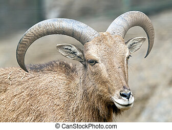 Alpine ibex - Steinbock - Portrait - Close view on a young...