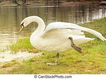 Swan Bird standing on grass holding leg up