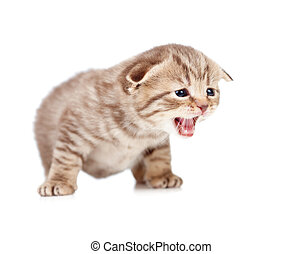 Scottish fold meowing kitten isolated on white