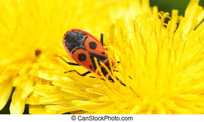 Firebug, Pyrrhocoris apterus collects nectar on a dandelion