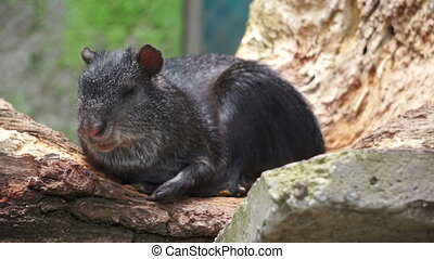Common Agouti Rodent Species Loungi - Common Agouti rodent...