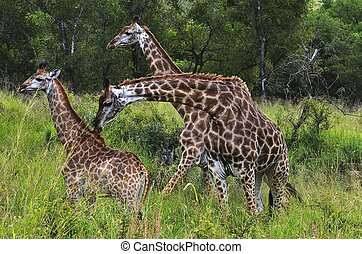 Giraffes in Hluhluwe-Umfolozi Game Reserve, South Africa