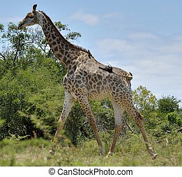 Giraffe with Two Hitchiking Birds - Giraffe in...