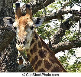 Giraffe Head and Neck - Giraffe in Hluhluwe-Umfolozi Game...
