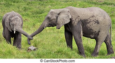 Two Elephants with Tied Trunks - Elephants in Giraffe in...
