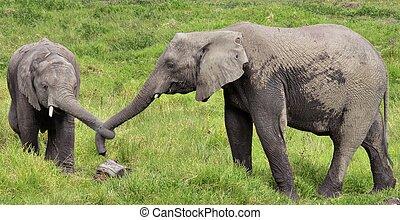 Two Elephants with Tied Trunks - Elephants in Giraffe in...