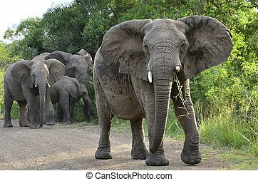 Elephant Family in Hluhluwe-Umfolozi Game Reserve, South...
