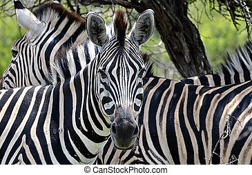 Two Zebras - Zebras in Hluhluwe-Umfolozi Game Reserve, South...