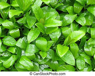 Green leaves, foliage background. - Green leaves, natural...