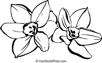 couple of daffodils on white background