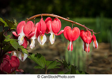 Bleeding Heart Flowers - Red Bleeding heart flowers hanging...