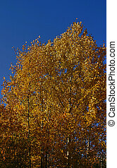 birch in an autumn season on a background dark blue sky