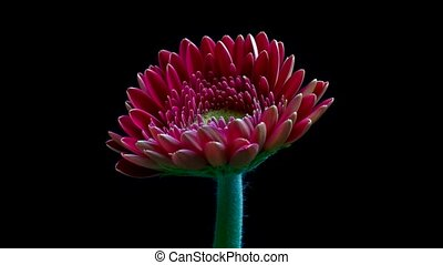 Gerbera daisy flower opening timelapse HD video