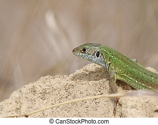 European Green Lizard on sand, Lacerta viridis