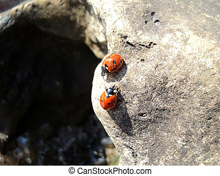Ladybugs on a stone - General view of insects - Gods - cows...
