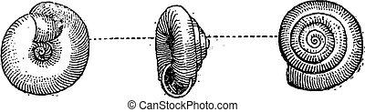 Garden Snail or Helix aspersa, vintage engraving - Garden...