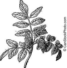 Mastic or Pistacia lentiscus, vintage engraving - Mastic or...