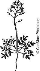 Field Pepperweed or Lepidium campestre, vintage engraving -...