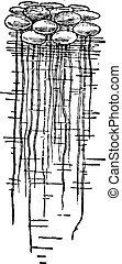 Duckweed or Lemna minor, vintage engraving - Duckweed or...