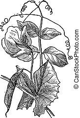 Pea or Pisum sativum, vintage engraving - Pea or Pisum...