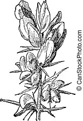 Gorse or Ulex sp, vintage engraving - Gorse or Ulex sp,...
