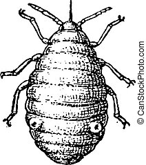 Aphid or plant lice, vintage engraving. - Aphid or plant...