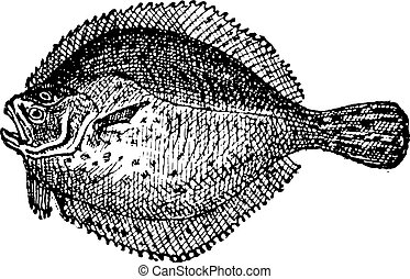 Turbot or Scophthalmus maximus, vintage engraving - Turbot...