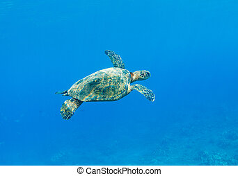 Sea Turtle - Green Sea Turtle Under Water in Hawaii
