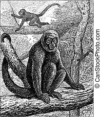 Humboldt's Woolly Monkey or common woolly monkey, vintage engraving.