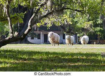 Grazing Sheep - A heard of sheep grazing in a field