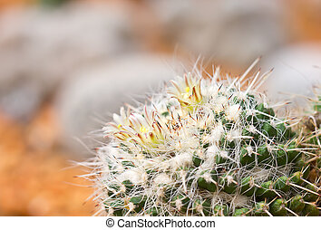 closeup of the flowering Old Lady Cactus