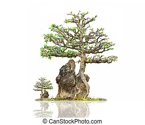 Chinese Bonsai Tree on white background