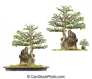 thai Bonsai Tree on white background