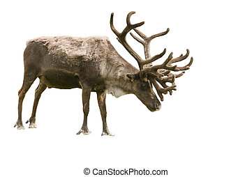 Caribou isolated on white