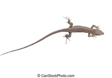 Green Lizard, juvenile, isolated