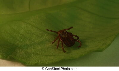 tick - wood tick crawling on a leaf