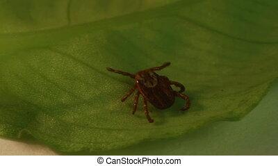 tick  - wood tick crawling on a leaf