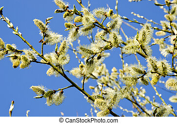 kittens in spring blooming tree branch blue sky