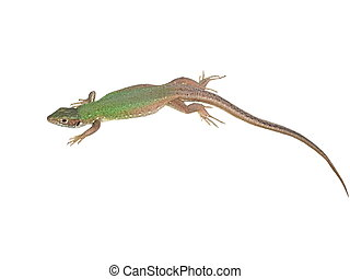 European Green Lizard isolated on white background, Lacerta...