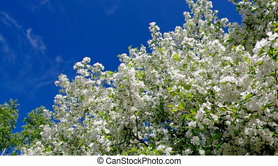 branch of bird cherry in front of blue sk