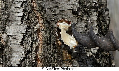 drilling birch trunk for sap - drilling spring birch trunk...