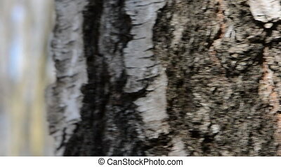 trunk with spigot and sap drops - birch trunk with spigot...
