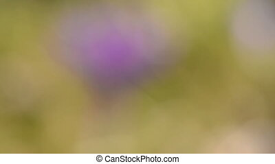 crocus blur blossom and wind - spring crocus blur blossom...