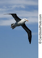 Black Browed Albatross - Albatrosses on the Falkland Island...