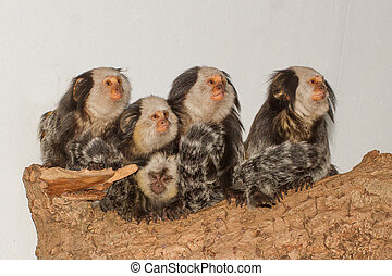 Five Tufted-eared Marmosets in a dutch zoo