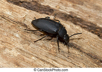 A large black beetle