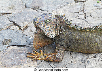 Head and shoulders of a land iguana in Guayaquil, Ecuador -...