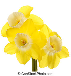 Three flowers of a yellow and white, reverse-bicolor...